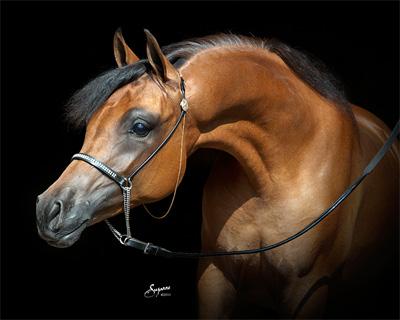 Sales Classicala Farm Michigan Purebred Arabian