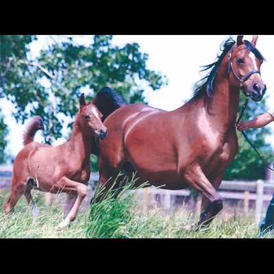 Sales - Classicala Farm: Michigan Purebred Arabian Breeding